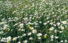 Oxeye daisies at Yarnton meadow, Michael Dodds, OU